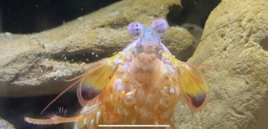 新江ノ島水族館,えのすい,モンハナシャコ
